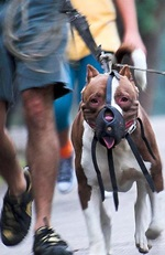 Image of a leashed and muzzled dog